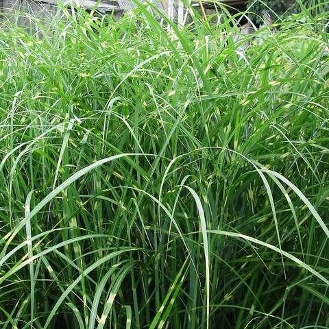 АгроСАД  питомник растений саженцы и рассада плодовые и