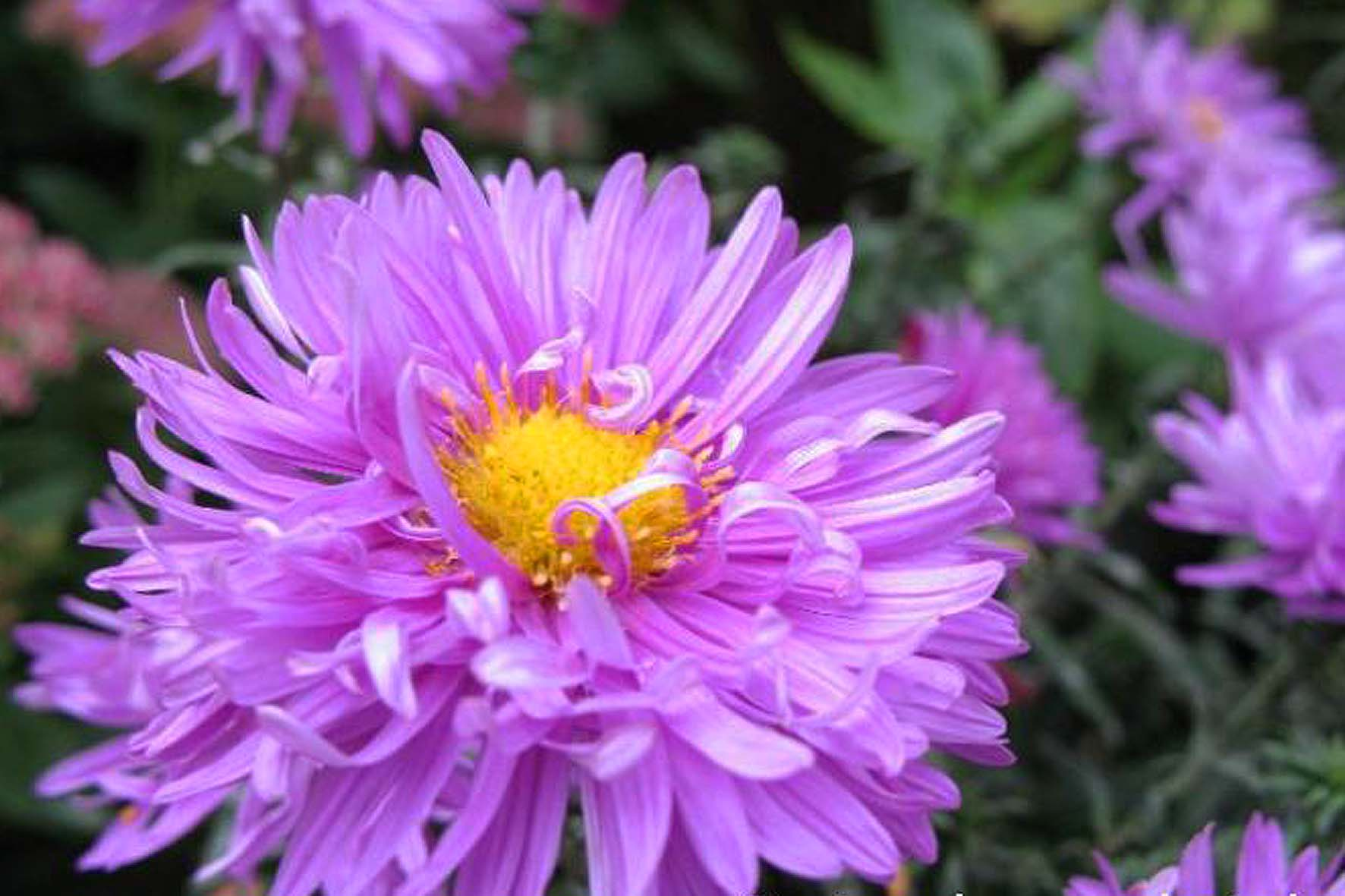 Купить лилии дешево  letomdomru
