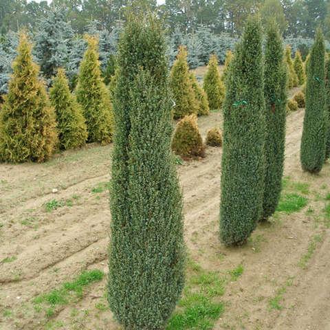 Можжевельник обыкновенный Сентинел (Juniperus communis Sentinel )