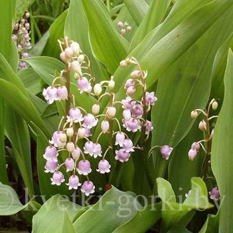 Розеа  (Convallaria majalis Rosea)