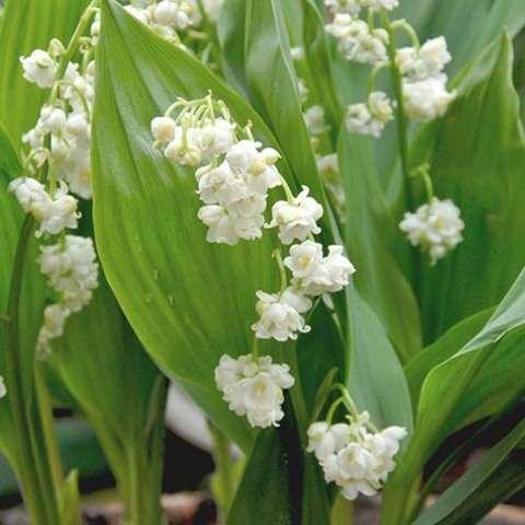 Пролификанс (Convallaria majalis 'Prolificans')