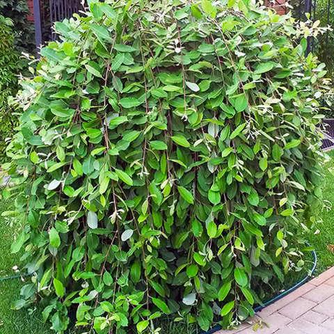 Ива козья Пендула (Salix caprea Pendula)