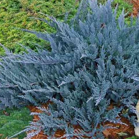 Можжевельник горизонтальный Блю Чип, Juniperus horizontalis Blue Chip