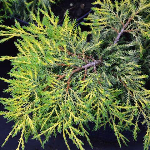 "Можжевельник средний Кинг оф Спринг, Juniperus  x media ""King of Spring"""
