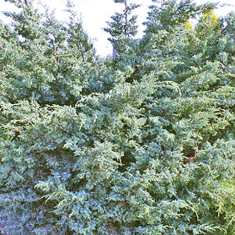 Блю Альпс, Juniperus chinensis Blue Alps