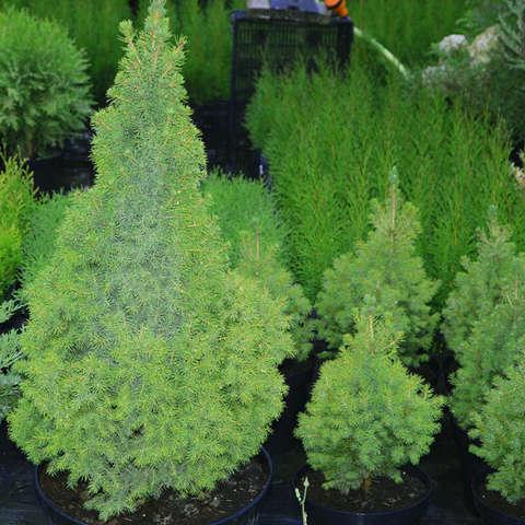 """Ель канадская «Коника». Picea glauca """"Conica"""""""