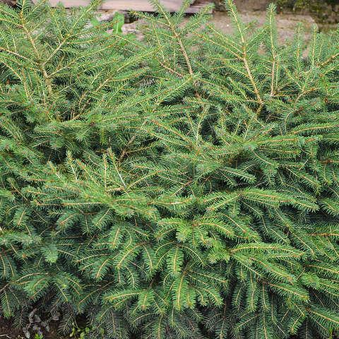 """Ель обыкновенная «Нидиформис». Picea abies """"Nidiformis"""""""