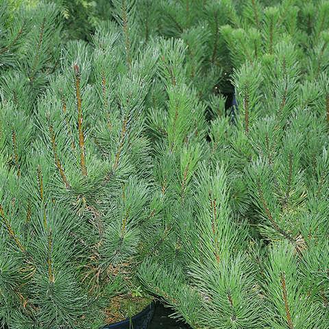 """Сосна горная «Монтана», Pinus mugo """"Montana"""""""