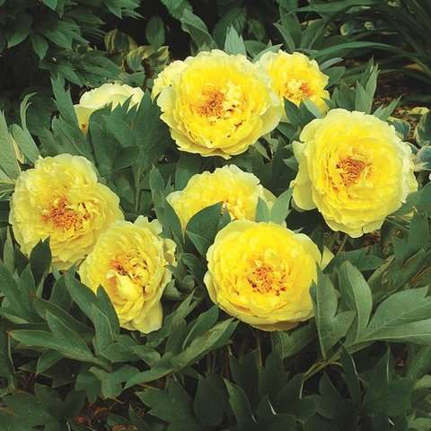 Пион Елоу краун, (Paeonia Itoh Yellow Crown)