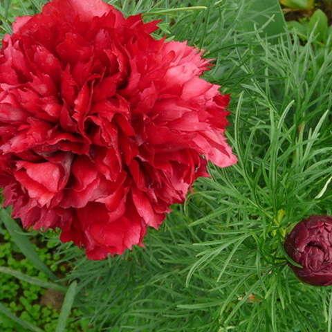 "Пион тонколистный ""Плена"", (Paeonia tenuifolia ""Plena"")"