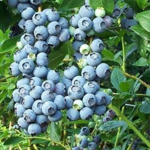 Выращивание и уход за голубикой  высокорослой