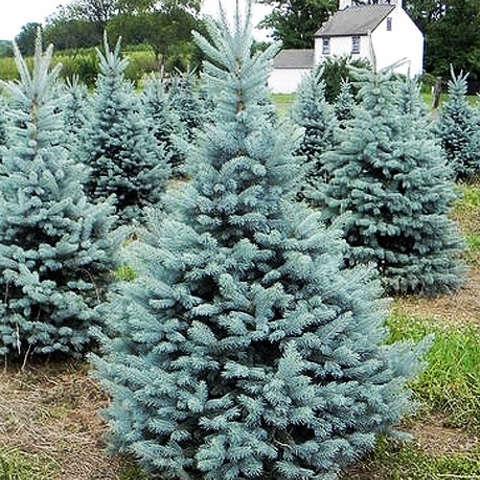 """Ель колючая  """"Кайбаб"""" (Picea pungens  Kaibab)"""