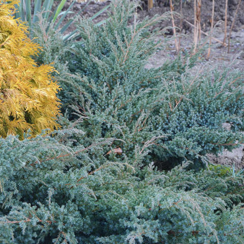 """Можжевельник чешуйчатый """"Блю Сведе"""", Juniperus squamata 'Blue Swede'"""