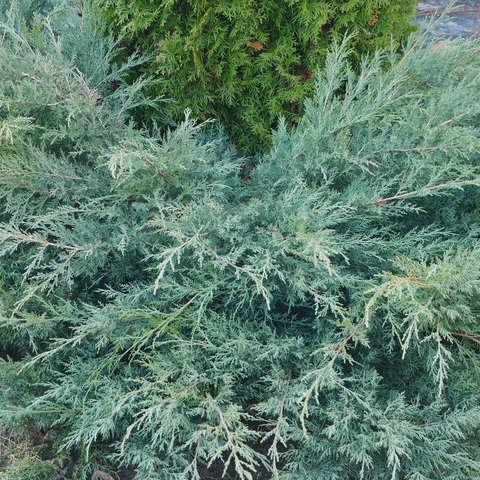 Можжевельник виргинский Грей Оул,  Juniperus virginiana Grey Owl
