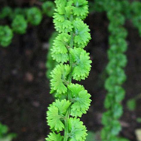 Кочедыжник женский Фризелли (Athyrium filix-femina `Frizelliae`)