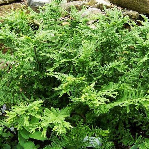 """Щитовник мужской  Кристата (Dryopteris filix-mas """"Cristata"""")"""