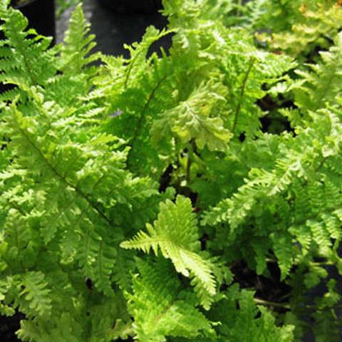 """Щитовник мужской  Криспа (Dryopteris filix-mas """"Crispa"""" )"""