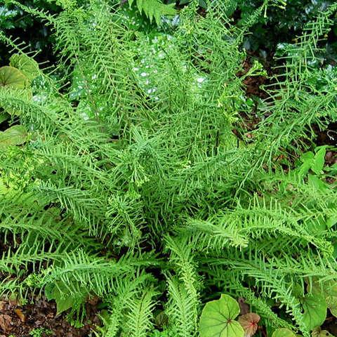 """Кочедыжник женский Викторие (Athyrium filix-femina """"Victoriae"""" = Dryopteris filix-femina """"Victoriae"""")"""