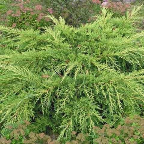 Можжевельник средний Пфитцериана ( Juniperus media Pfitzeriana )